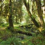 """Hoh Rainforest"" by jgummerman"