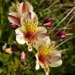 """Courtyard Flowers - Fort Bragg, Ca."" by BrandonWatson"