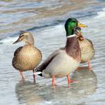 """Mallards on ice"" by cameragal"