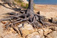 Roots - Tree at lake Lanier in Georgia