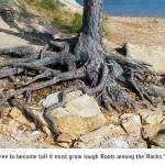"""Roots Among The Rocks Photo by Ginette"" by GinetteCallaway"