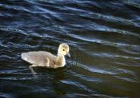 Gosling Swimming