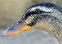 Duck Profile