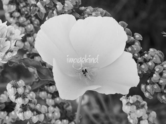 Black And White Flower Photography Prints Poppy Flower Black And White