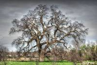 Folsom Oak Tree
