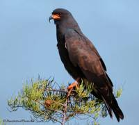 The Snail Kite