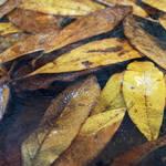 """Frozen Leaves"" by jackimroczkowski"
