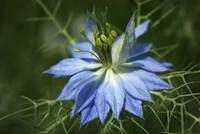 Love in a Mist - Blue