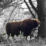 """Kyloe Bull"" by 2soaringhearts"