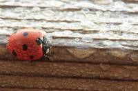 Dew Covered Ladybug on Wood
