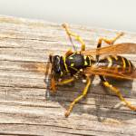 """Yellow Jacket Wasp Chews Wood into Pulp"" by mackflix"