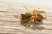 Yellow Jacket Wasp Chews Wood into Pulp