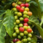 """Kona Coffee Beans"" by RobinCowles"