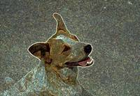 Australian Cattle Dog Mix