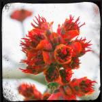 """Red Buds"" by JamesHanlon"