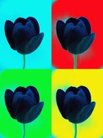 Tulip In Colours
