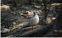 The Indian Ring Dove...