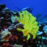 """Yellow Featherstar and Diver"" by Mac"