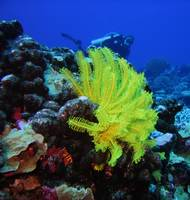 Yellow Featherstar and Diver