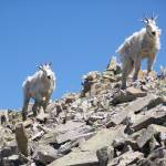 """Goats at 11,000 feet"" by Spoiler"