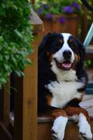 Relaxing Bernese Mountain Dog
