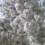 """Frosted Pine"" by Featherstone"