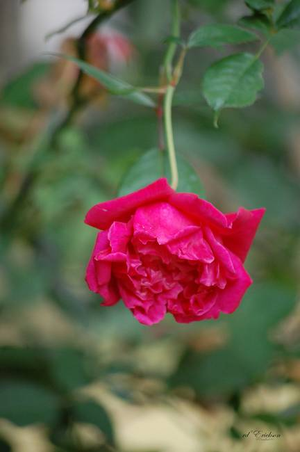 Cracker Rose