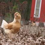 """Free Range Hen"" by kimmerhaw"