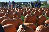 a lot of pumkins