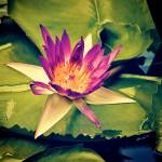 """water lily"" by AndyBckmn"