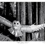 """That Damn Owl [variant 1]"" by FreshPrintsPaducah"