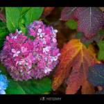 """Hydrangeas"" by vbaquero"