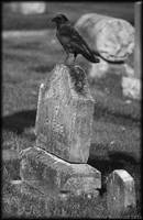 Crow on headstone