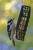 Woodpecker in Autumn