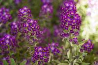 Mini Purple Flowers