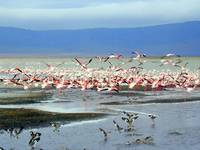 Flamingo Flight in Ngorogoro Crater