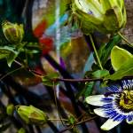 """Passion Flower Graffiti"" by Grebo"
