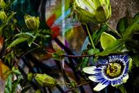 Passion Flower Graffiti