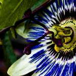 """Passion Flower"" by Grebo"