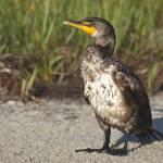 """Double-crested Cormorant"" by shutterbugdan"