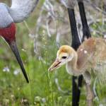 """Sandhill Crane Parent and Colt"" by shutterbugdan"