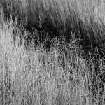 """Prairie Grasses    1197 Black and White Edition"" by BarbaraLin"