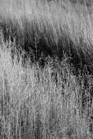 Prairie Grasses    1197 Black and White Edition