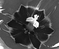 Inside Of A Tulip - Black And White Photography