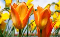 Simply Sunny Orange Tulips