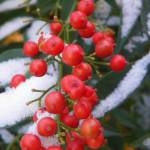 """Botanical - Red Berries - Outdoors Beauty"" by artsandi"