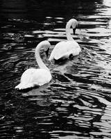 2 Swans-A-Swimming
