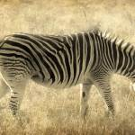 """Zebra in South Africa"" by RossanaNovella"