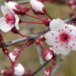 """Peekin Plum Blossoms"" by J9Photography"