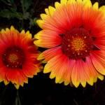 """Wild flower, Lake Tahoe"" by JewelsOfDenile"